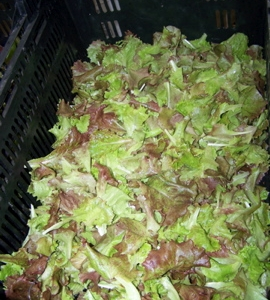 Freshly washed baby lettuce for the mixed greens