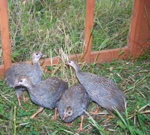 Guineas for insect control