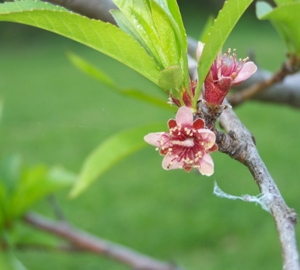 A New Haven Peach in bloom