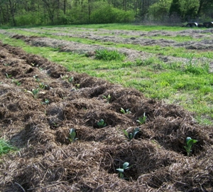 Newly transplanted Kale plants in one of the no-till beds