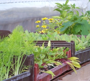Fennel & Swiss Chard ready to be transplanted