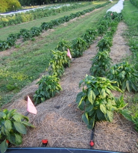 Peppers in one of the permanent no till beds