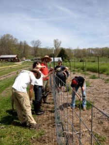 CSA Members installing trellising for the Snow Peas