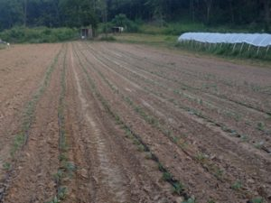 Fall Brassica Planting
