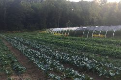 Fall Brassicas Growing Faubulously