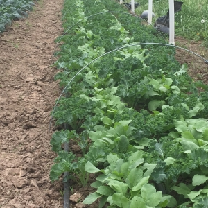 Early spring kale with radishes interplanted