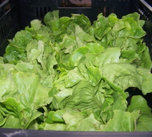 Beautiful Buttercrunch lettuce, one of our favorites!