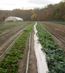 Rows of veggies in the field