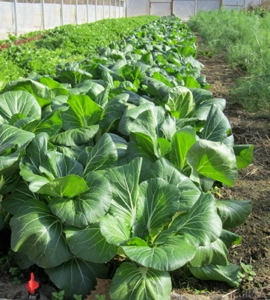 Bok choi in the high tunnel
