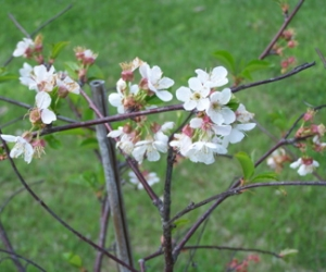 A Cherry tree in bloom