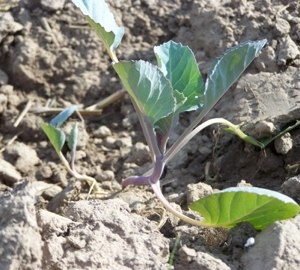 Newly transplanted Cabbage plants