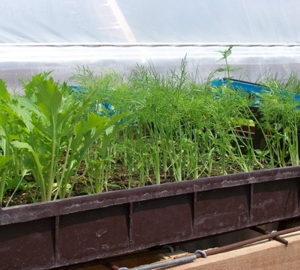Fennel & Mizuna plants ready to be set out in the field