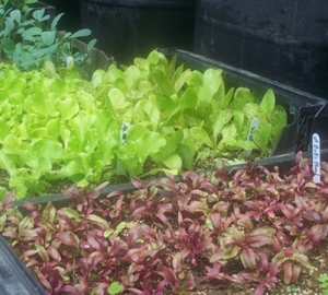 Beets and lettuce in the greenhouse