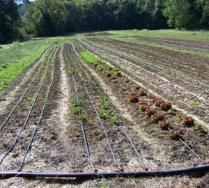 Fall veggies newly transplanted in the field