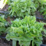 Baby green oakleaf in the field Nov. 17, 2011