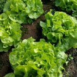 Panisse head lettuce