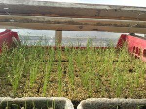 Onion Seedlings 2.20.14