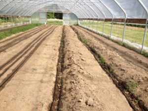 Beds ready & ginger planted