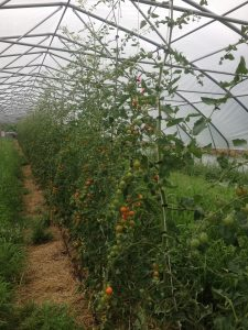 Sun Gold Cherry tomatoes in Goliath (our big high tunnel)