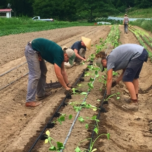 Transplanting summer cucumbers & squashes