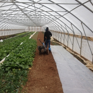 Tilling in the high tunnel, prepping for transplanting